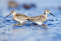Curlew Sandpipers by Polina Clarke in Ireland
