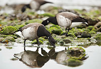 Brent Geese in Ireland by Polina Clarke