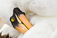 Nazca Booby in Galapagos by Polina Clarke