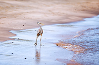 Great Blue Heron in Galapagos by Polina Clarke