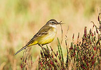 Yellow Wagtail in Spain by Polina Clarke